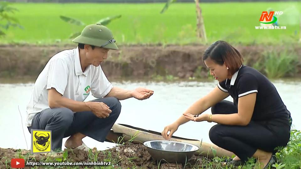 Bạn nhà nông: Kỹ thuật nuôi ốc nhồi thương phẩm