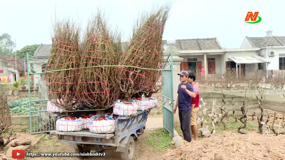 Xuân đến sớm trên mảnh đất trồng Đào Kim Định