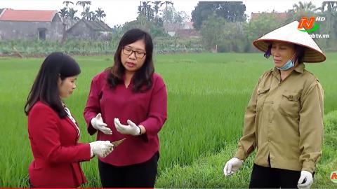 Bạn nhà nông: Kỹ thuật phòng trừ bệnh đạo ôn trên lúa