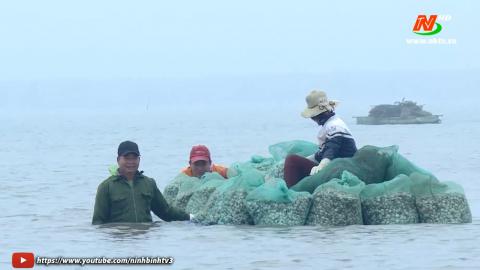 Ngao Kim Sơn được mùa, được giá