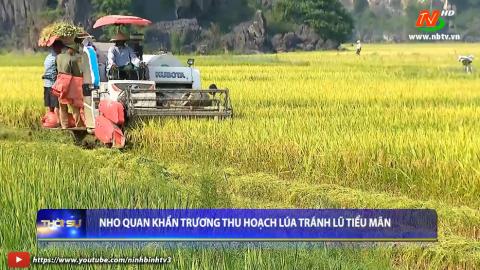 Nho Quan khẩn trương thu hoạch lúa tránh lũ Tiểu mãn.