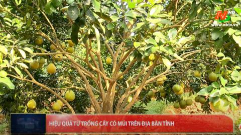 Những vấn đề cử tri quan tâm: Quan tâm phát triển bền vững cây có múi