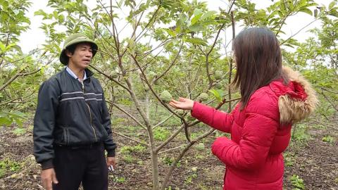 Phú Long trồng na Vietgrap cho thu nhập cao