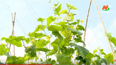 Vì chất lượng cuộc sống: Cần nhân rộng mô hình trồng dưa an toàn ở Sơn Lai