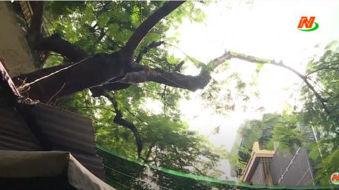 Vì chất lượng cuộc sống: Cây xanh đô thị - Nguy hiểm trong mùa mưa bão