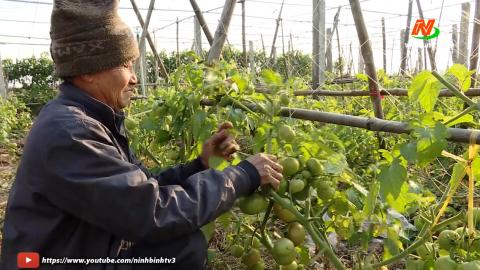 Vì chất lượng cuộc sống: Khánh Thành phát triển cà chua thành sản phẩm Ocop